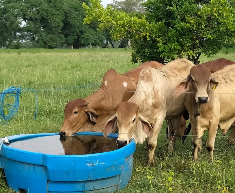 Agua en la nutrición del ganado